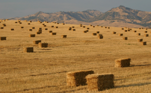 Another Resource For Construction Grade Straw Bales - Bales