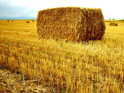 daun rai, daun straw, daun gandum, wheat leaves,