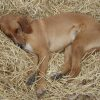 dog laying on straw
